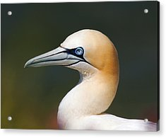 Acrylic Print featuring the photograph Gannet by Paul Scoullar