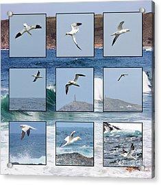 Gannets Galore Acrylic Print