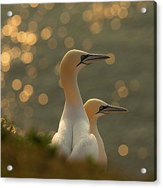 Gannets In Sunset Acrylic Print