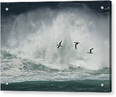 Gannets Past A Raging Sea. Acrylic Print
