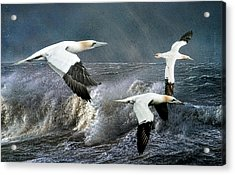 Acrylic Print featuring the photograph Gannets Skimming The Waves by Brian Tarr