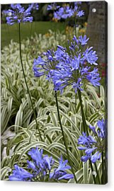 Garden Blue Acrylic Print by Ivete Basso Photography