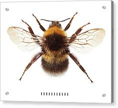 Garden Bumblebee Acrylic Print by Natural History Museum, London