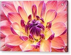 Garden Dahlia Acrylic Print