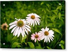 Garden Dasies Acrylic Print by Tom Mc Nemar