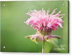 Garden Jester Acrylic Print by Beve Brown-Clark Photography