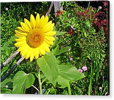 Garden Sunflower Acrylic Print by Aimee L Maher Photography and Art Visit ALMGallerydotcom