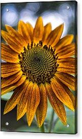 Garden Sunflower Acrylic Print
