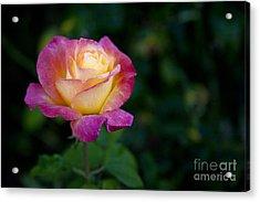 Garden Tea Rose Acrylic Print by David Millenheft
