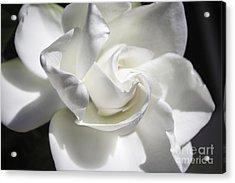 Gardenia Acrylic Print by Arlene Carmel