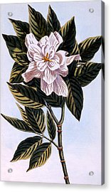Gardenia G Augusta Acrylic Print