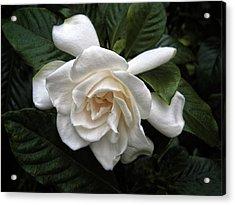 Gardenia Acrylic Print by Jessica Jenney