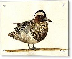 Garganey Duck Acrylic Print
