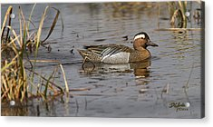 Garganey In Wisconsin Acrylic Print