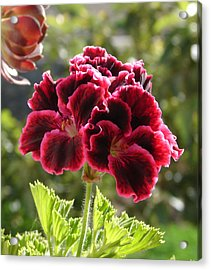 Acrylic Print featuring the photograph Garnet Geranium by Lew Davis