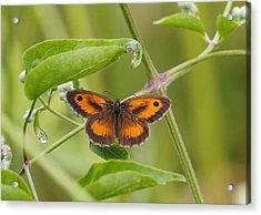Gatekeeper Butterfly -01 Acrylic Print