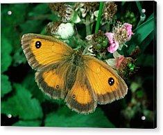 Gatekeeper Butterfly Acrylic Print by Nigel Downer