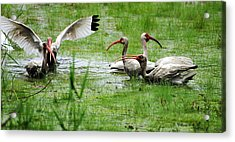 Gathering Of Ibis Acrylic Print
