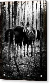 Gathering Of Moose Acrylic Print by Bob Orsillo