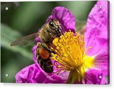 Gathering Pollen Acrylic Print