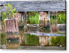 Gator At The Old Trestle Acrylic Print