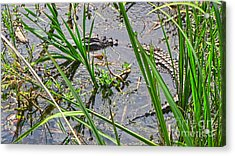 Gator Baby 2 Acrylic Print by D Wallace