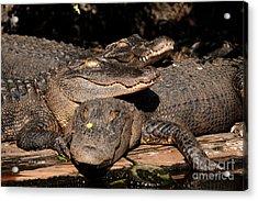 Gator Pals 1 Acrylic Print by Sue Jarrett