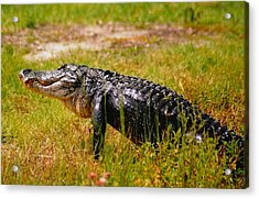 Gator Raid Acrylic Print by Miles Stites