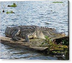 Gator Acrylic Print by Tanya Shockman
