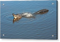 Gator Waves Acrylic Print