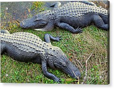 Gators Acrylic Print by Carey Chen