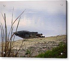 Gator's Dinner Acrylic Print