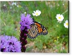 Gayfeathers And Butterfly Acrylic Print by Sandra Updyke