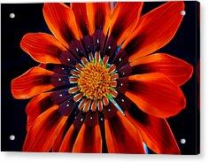Gazania Flower Acrylic Print by Larry Harper