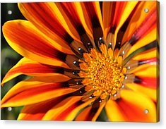 Acrylic Print featuring the photograph Gazania Glory by Richard Stephen