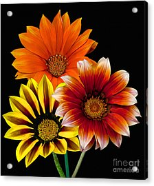 Acrylic Print featuring the photograph Gazania Variety by Shirley Mangini