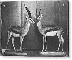 Gazelles In Lower Mammal Gallery Acrylic Print