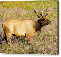 Acrylic Print featuring the photograph Gazing Elk by Todd Kreuter