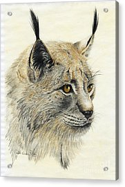 Gazing Lynx Acrylic Print by Phyllis Howard