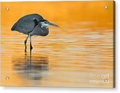 Acrylic Print featuring the photograph Gbh In Orange Water by Bryan Keil