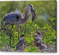 Great Blue Heron Lunch Alfresco Acrylic Print