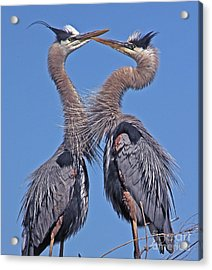 Great Blue Heron The Face Off Acrylic Print by Larry Nieland