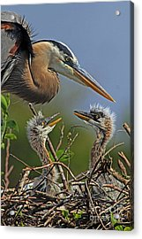 Great Blue Heron Twins Acrylic Print