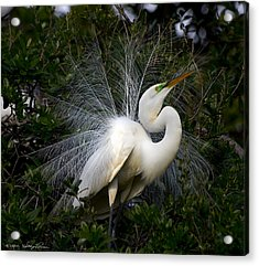 Acrylic Print featuring the photograph Geat Egret Mating Dance I by Kathy Ponce