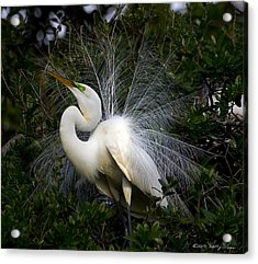 Acrylic Print featuring the photograph Geat Egret Mating Dance II by Kathy Ponce