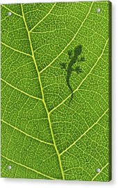 Gecko Acrylic Print by Aged Pixel