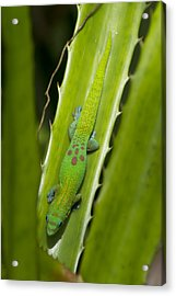 Gecko Acrylic Print by Mike Herdering