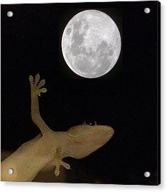 Gecko Moon Acrylic Print by Cameron Bentley