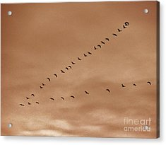 Geese 2 Acrylic Print by Judy Via-Wolff
