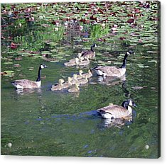 Geese And Goslings Acrylic Print